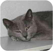Domestic Shorthair Cat for adoption in Marietta, Georgia - Sadie