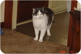 Domestic Shorthair Cat for adoption in West Dundee, Illinois - Smokey