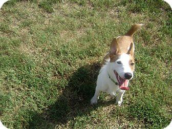 Corgi/Jack Russell Terrier Mix Dog for adoption in Inola, Oklahoma - sarge