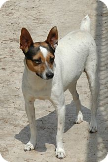 Jack Russell Terrier Dog for adoption in San Antonio, Texas - Trevor