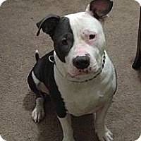 American Staffordshire Terrier Dog for adoption in Beverly Hills, California - Chance