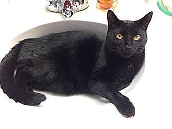 Domestic Shorthair Cat for adoption in Columbus, Ohio - Panther II