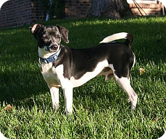 Terrier (Unknown Type, Small)/Beagle Mix Dog for adoption in Lakewood, Colorado - Bob