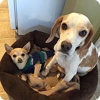 Adopt A Pet :: Izzy - Freeport, ME