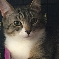 American Shorthair Kitten for adoption in Cerritos, California - Finn