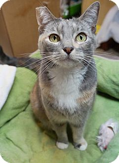 Calico Cat for adoption in Alameda, California - Willow