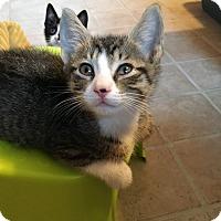 Adopt A Pet :: Tiger - Trevose, PA