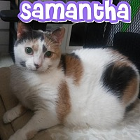 Domestic Shorthair Cat for adoption in Trevose, Pennsylvania - Samantha