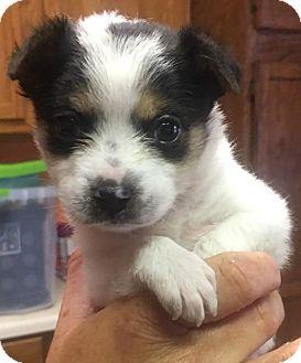 Rat Terrier Puppy for adoption in Batesville, Arkansas - Prince