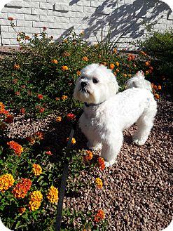Shih Tzu Dog for adoption in Las Vegas, Nevada - Juju