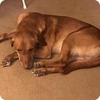 Labrador Retriever Dog for adoption in New Boston, Michigan - Mack