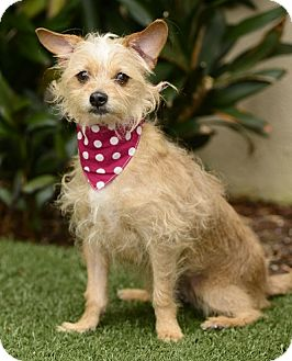 Terrier (Unknown Type, Small) Mix Dog for adoption in Rancho Palos Verdes, California - Honey