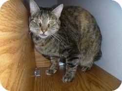 Domestic Shorthair Cat for adoption in Hamburg, New York - Ingrid