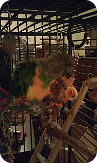 Poicephalus (including Senegal and Meyer's) for adoption in Redlands, California - Louie