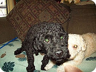 Poodle (Toy or Tea Cup) Dog for adoption in Butler, Ohio - Shadow