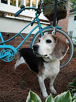 Beagle Dog for adoption in Charlotte, North Carolina - Henry