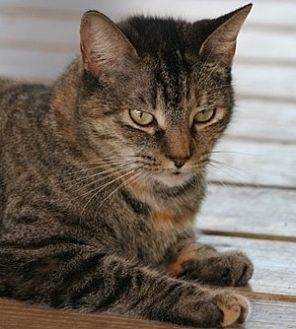 Domestic Shorthair Cat for adoption in North Fort Myers, Florida - Damara