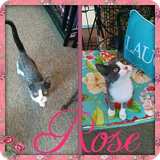 Domestic Shorthair Cat for adoption in Maryville, Tennessee - Rose
