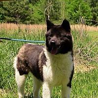 Akita Dog for adoption in Olive Branch, Mississippi - ELSIE