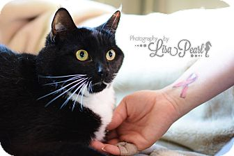 Domestic Shorthair Cat for adoption in Calgary, Alberta - Pheobe
