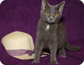 Domestic Shorthair Kitten for adoption in Marietta, Ohio - Reagan (Spayed)