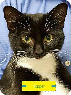 Domestic Shorthair Kitten for adoption in Albemarle, North Carolina - Topper