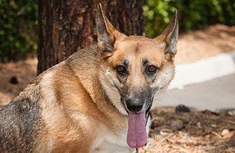 German Shepherd Dog Dog for adoption in Newport Beach, California - Nikki