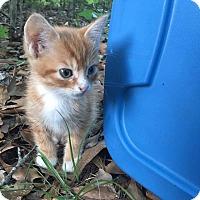 Adopt A Pet :: Sox - Sugar Land, TX