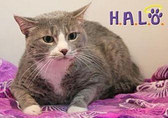 Domestic Shorthair Cat for adoption in Sebastian, Florida - Suzette