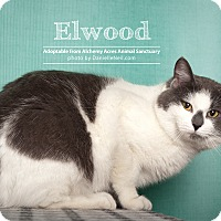 British Shorthair Cat for adoption in Salem, Ohio - Ellwood