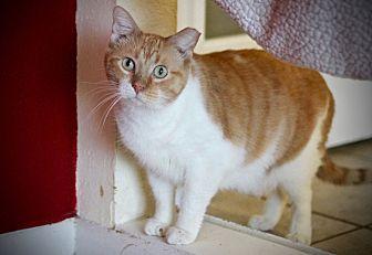 Domestic Shorthair Cat for adoption in San Antonio, Texas - Malcolm