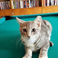 Domestic Shorthair Kitten for adoption in East Windsor, New Jersey - Grainger/Graine