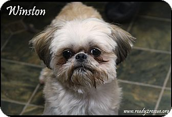 Shih Tzu Dog for adoption in Rockwall, Texas - Winston