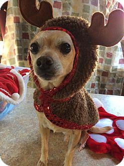 Chihuahua Dog for adoption in Beachwood, Ohio - Dexter  Adoption Pending