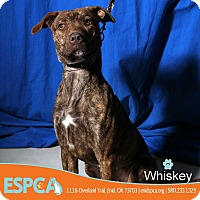 Adopt A Pet :: Whiskey - Enid, OK