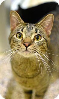 Domestic Shorthair Cat for adoption in Aiken, South Carolina - Haku