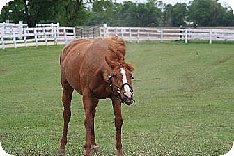 Thoroughbred for adoption in Woodstock, Illinois - Star Tribute