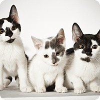 Adopt A Pet :: Simone - New York, NY
