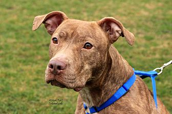 American Pit Bull Terrier/American Staffordshire Terrier Mix Dog for adoption in Flushing, Michigan - Adele