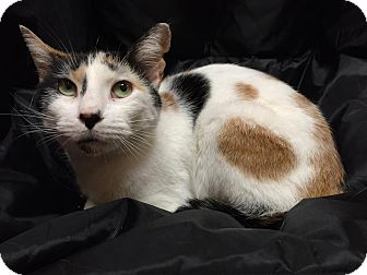 Domestic Shorthair Cat for adoption in Maryville, Missouri - Phoebe