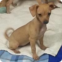 Adopt A Pet :: Olive - East Hartford, CT