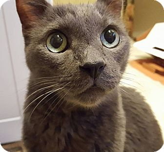 Russian Blue Cat for adoption in Burbank, California - Rory