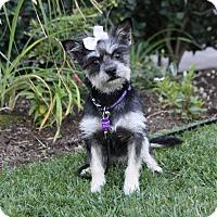 Adopt A Pet :: ABBIE - Newport Beach, CA