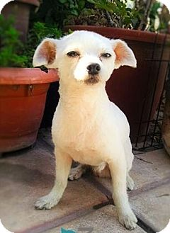 Terrier (Unknown Type, Small)/Maltese Mix Dog for adoption in Corona, California - COCO