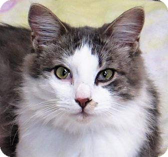 Domestic Longhair Cat for adoption in Gonzales, Texas - Carly
