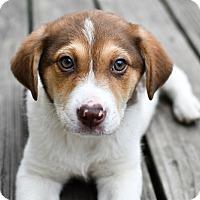 Adopt A Pet :: Latte - Mt. Prospect, IL