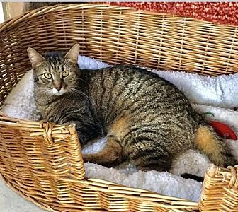 Domestic Shorthair Cat for adoption in Ocala, Florida - SNAP