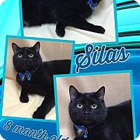 Domestic Shorthair Cat for adoption in Lexington, North Carolina - SILAS