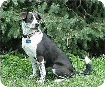 Border Collie/Pug Mix Dog for adoption in Tiffin, Ohio - Chessie