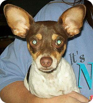 Rat Terrier/Papillon Mix Puppy for adoption in Poway, California - Mojo